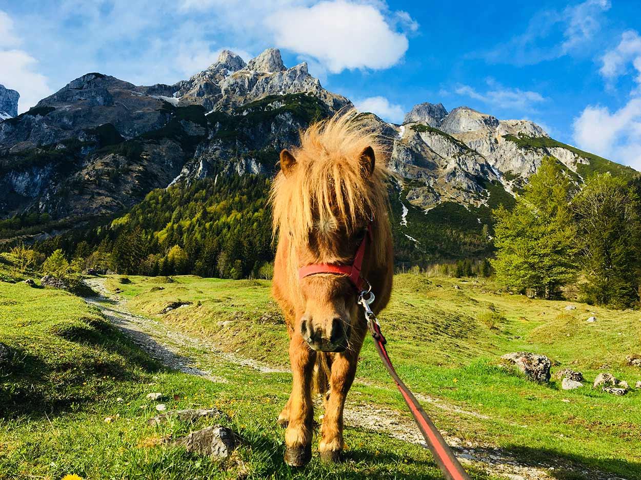 Pony am Buernhof Oberlehengut in Werfenweng