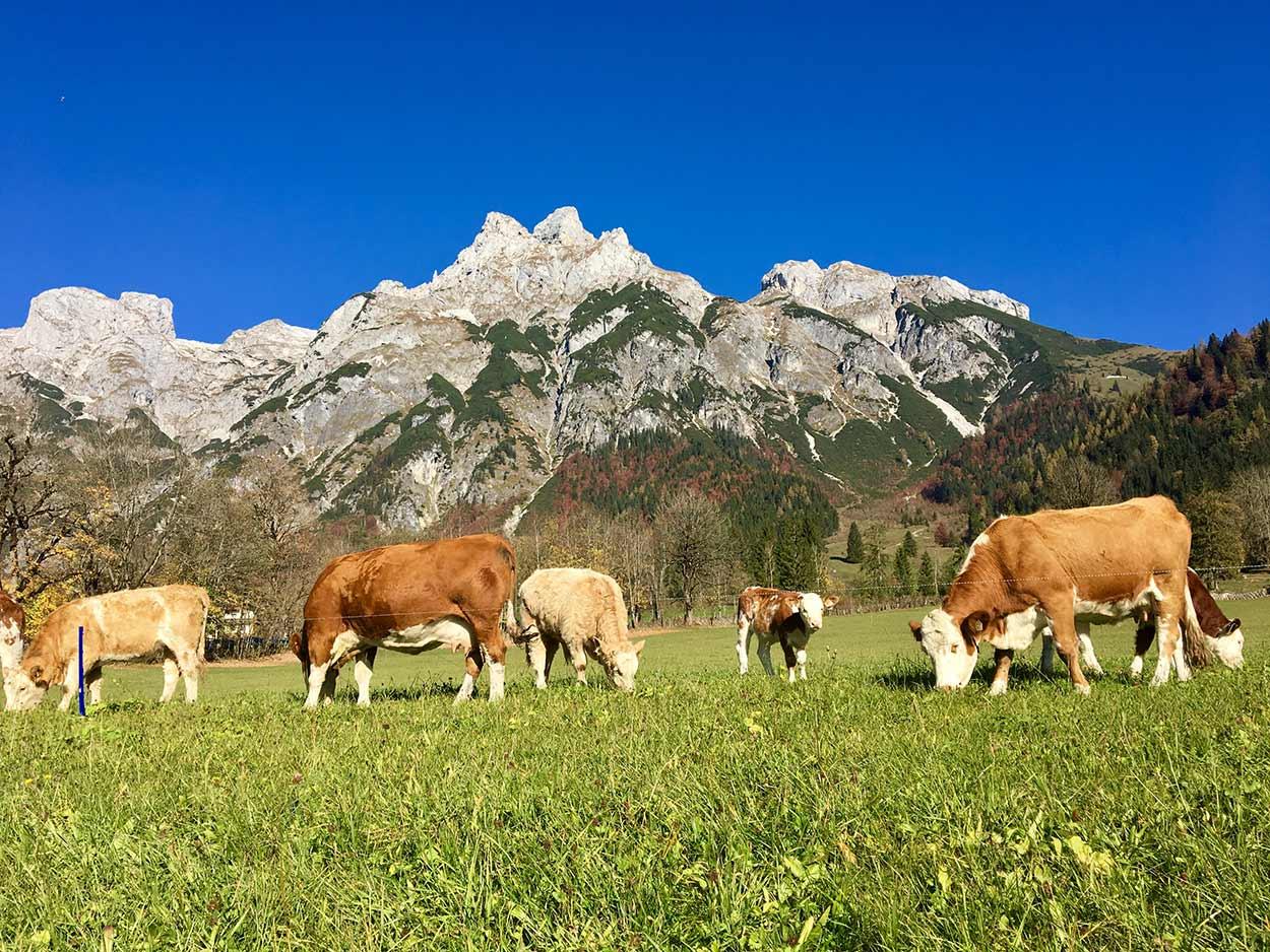 Kühe auf der Weide beim Bauernhof Oberlehengut in Werfenweng