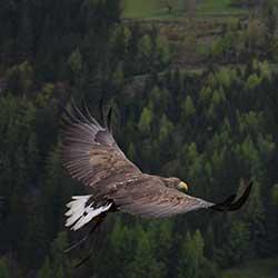 Greifvogelschau Werfenweng Bischlinghöhe - Freizeitaktivitäten für Urlauber aus Werfenweng