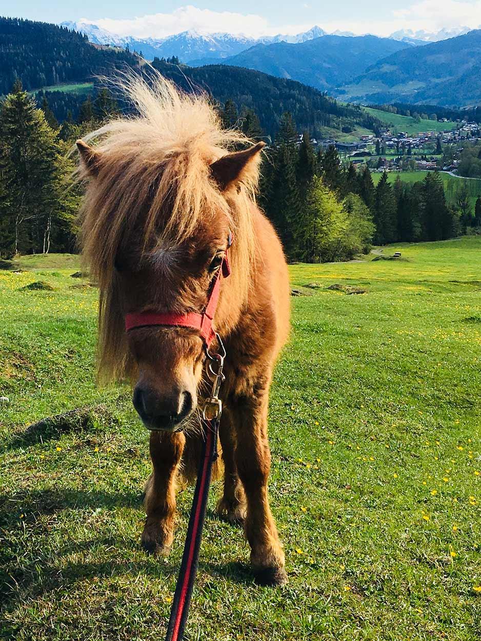Pony vom Bauernhof Oberlehengut in Werfenweng - Bauernhoftiere- Erlebnis für Kinder