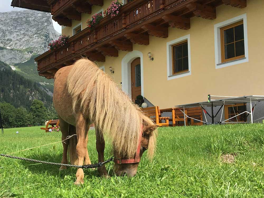 Pony am Bauernhof Oberlehengut - Bauernhof-Streicheltiere für die Gäste des Alpenappartements in Werfenweng