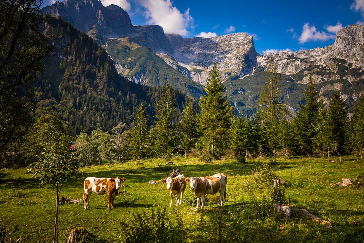 Kühe auf der Alm in Werfenweng im Salzburger LAnd