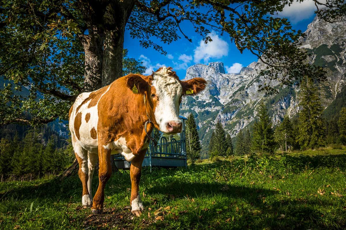 Kuh auf der Alm in Werfenweng