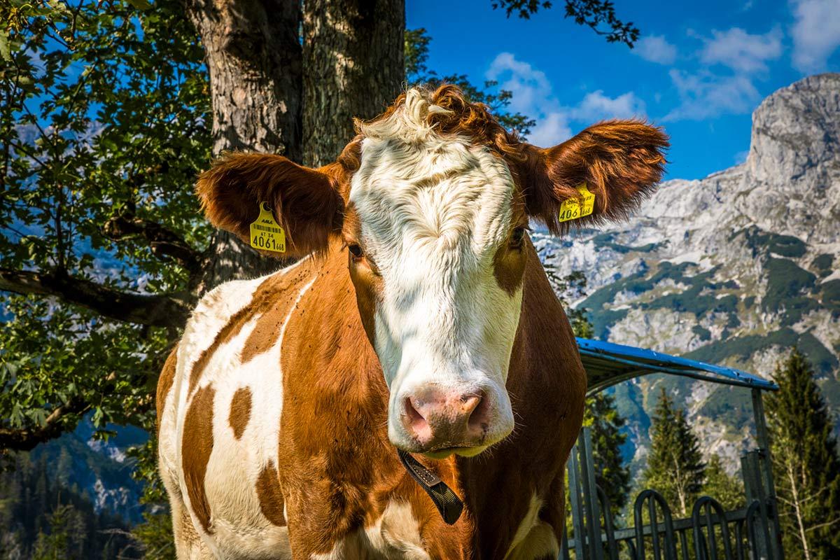 Kühe vom Oberlehengut Bauernhof in Werfenweng