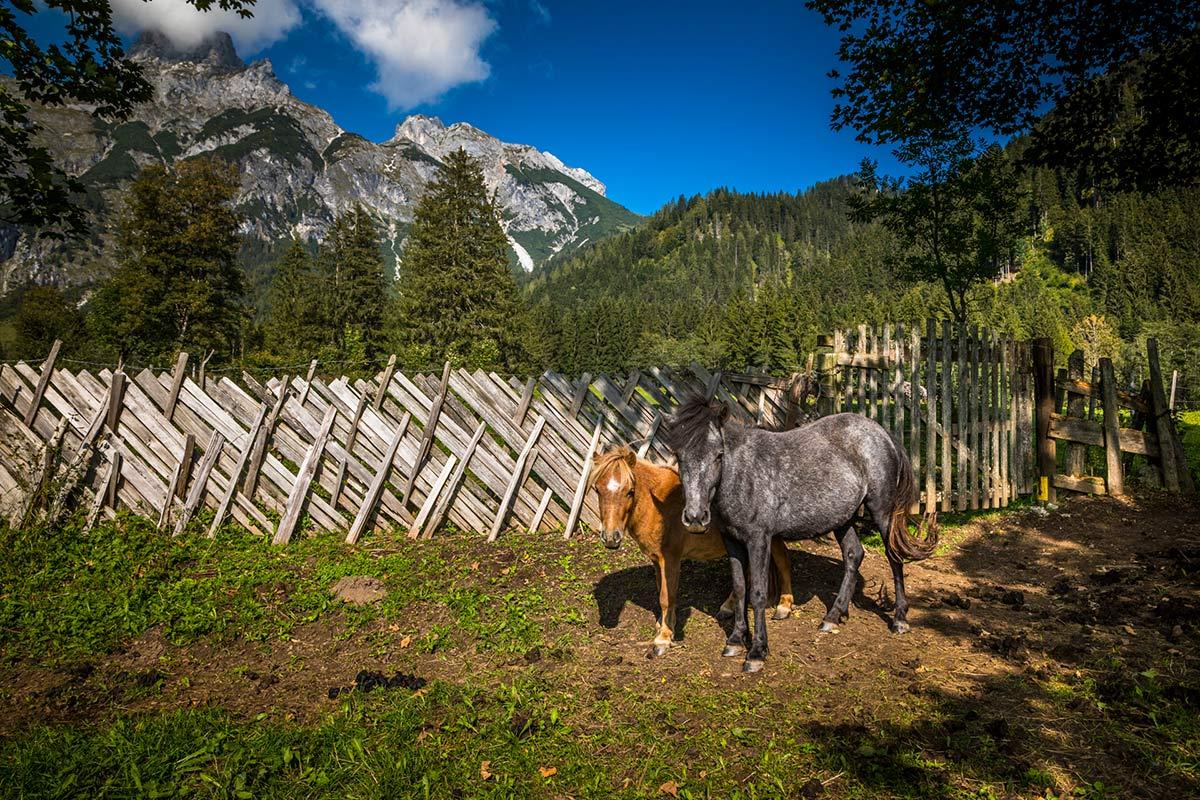 Ponys am Bauernhof in Werfenweng